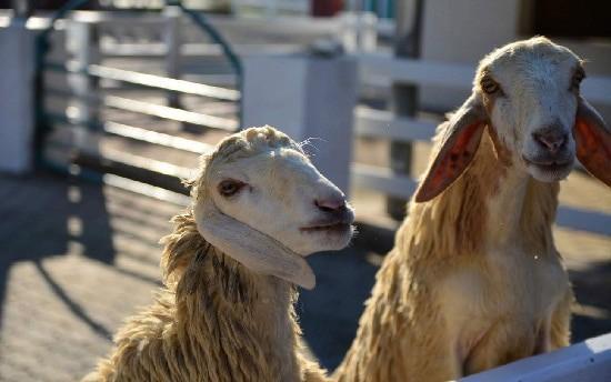 Vé nông trại Cừu Thụy Sĩ ở Pattaya