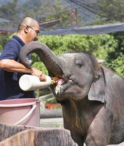khu bảo tồn voi Kuala Gandah