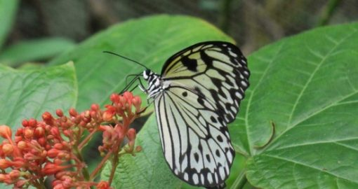 Vé Butterfly Park và Insect Kingdom Singapore